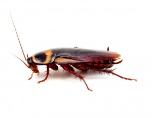 Cockroach Control Murrayfield