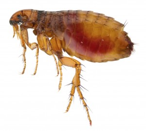 Flea Removal Wallyford