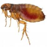 Flea Control-Pest Control Scotland