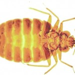 Bed Bug Control-Pest Control Scotland