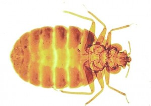 Bed Bug Removal Dean Village