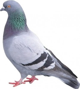 pigeon-proofing
