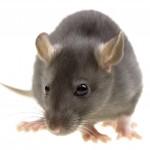 Rodent Control-Pest Control Scotland