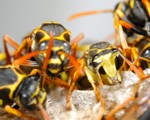 Wasp Nest Removal-Pest Control Scotland