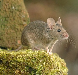 Mice Control Whittingehame