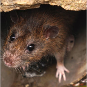 Cheap Rat Control Glasgow