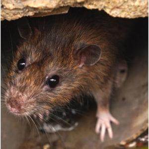 Rat Control Cost Falkirk
